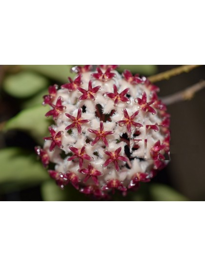 Hoya erythrostemma QSBG ( rooted cutting )
